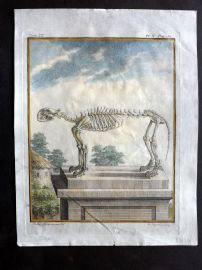 Buffon First Edition C1770 Antique Hand Col Print. Skeleton of Tiger 9-10